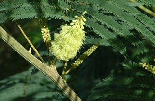 Brush wattle